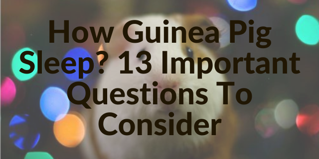 How Guinea Pig Sleep? 13 Important Questions To Consider