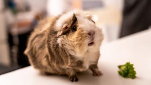 How Guinea Pigs Give Birth