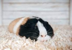 Is It True That A Guinea Pig Sleeps More In The Winter