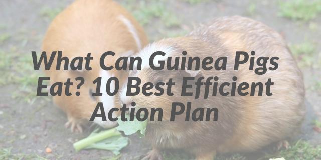 What Can Guinea Pigs Eat 10 Best Efficient Action Plan