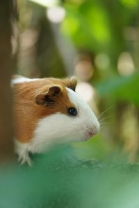 What are thereasons guinea pigs rest with their eyes open