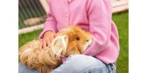 What should I do to ensure that my Guinea Pigs receive the rest they require (1)
