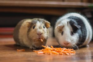 What Can Guinea Pigs Eat