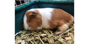 Why do guinea pigs sleep in strange positions (1)