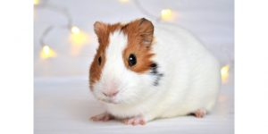 Why don't guinea pigs shut their eyes if they have eyelids (1)
