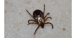 How to Prevent Ticks on Dogs? fastest way to kill ticks